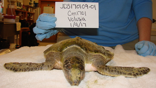 Adele, sea turtle to be released back into the ocean from Pobce Inlet / Headline Surfer