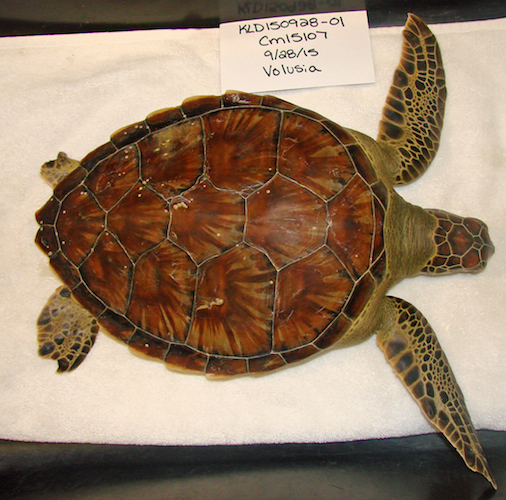 Francis, 6 pound gree sea turtle to be released back into the Atlantic Ocean / Headline Surfer®