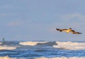 Osprey hovers over surf in New Smyrna Beach, Florida / Headline Surfer®