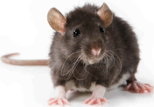 "Corrupt government officials in Volusia County ask, ""Who's the rat?"" / Headline Surfer®"
