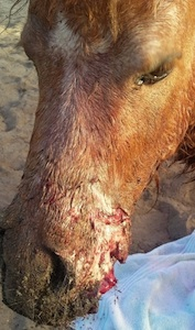 Teddy, the mini horse from Lake Helen, did not sdurvive the bite marks / Headline Surfer®