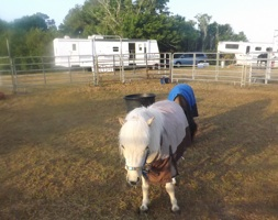 Miniature horse grazes at New Smyrna Beach Balloon & Skyfest / Headline Surfer