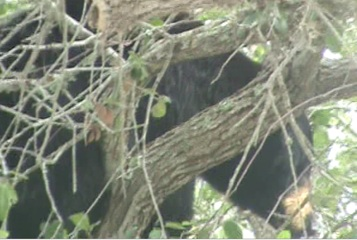 Bear in a tree in New Smyrna Beach / Headline Surfer
