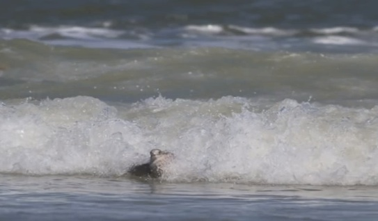 Surfer Kem McNair captures Seagull riding surf on camera in New Smyrna Beach, FL / Headline Surfer®