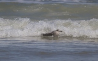 Seagull rides a wave in New Smyrna Beach, FL as captured by surfer Kem McNair / Headline Surfer®