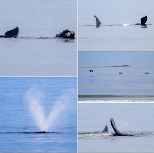 Right whale spotted 100 yards from New Smyrna Beach, Fl shoreline / Headline Surfer®