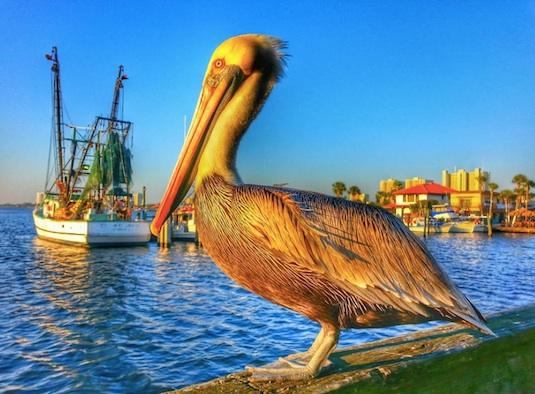 Brown pelican shown newar Intracoastal Waterway, Port Orange, Florida / Headline Surfer